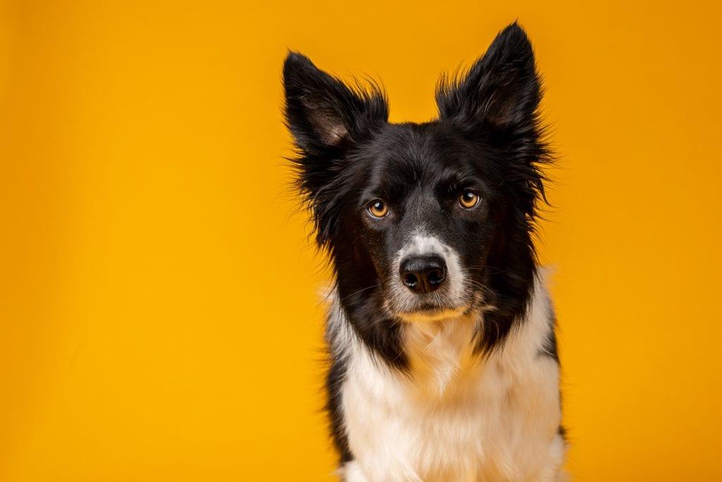 studio dog photography