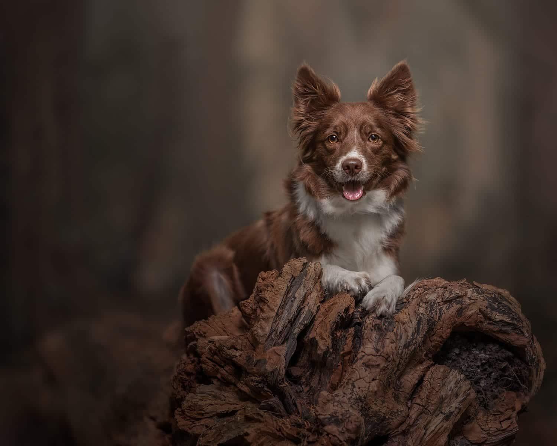 Dog Photography Photoshop Tutorial